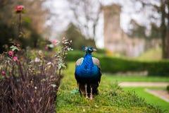 Αρσενικό peacock στους κήπους κάστρων Στοκ εικόνες με δικαίωμα ελεύθερης χρήσης