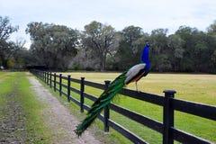 αρσενικό peacock στοκ εικόνα με δικαίωμα ελεύθερης χρήσης