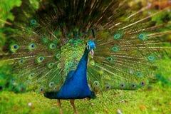 αρσενικό peacock Στοκ φωτογραφίες με δικαίωμα ελεύθερης χρήσης