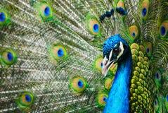 αρσενικό peacock στοκ φωτογραφία με δικαίωμα ελεύθερης χρήσης