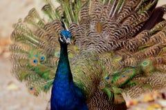 Αρσενικό Peacok στοκ φωτογραφία με δικαίωμα ελεύθερης χρήσης