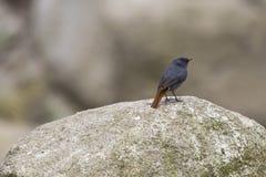 Αρσενικό Plumbeous νερό-Redstart στο βράχο Στοκ εικόνα με δικαίωμα ελεύθερης χρήσης