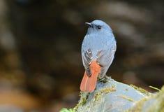 Αρσενικό Plumbeous fuliginosa Redstart Rhyacornis Στοκ Φωτογραφίες