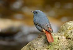 Αρσενικό Plumbeous Redstart (fuliginosa Rhyacornis) Στοκ Εικόνες
