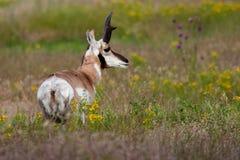 αρσενικό pronghorn Στοκ φωτογραφίες με δικαίωμα ελεύθερης χρήσης