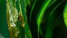 Αρσενικό Reticulated valerioi Hyalinobatrachium βατράχων γυαλιού που φρουρεί έναν συμπλέκτη των αυγών στοκ φωτογραφίες