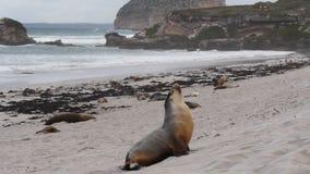 Αρσενικό sea-lion απόθεμα βίντεο