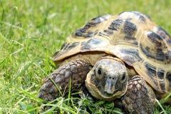 Αρσενικό Tortoise στο κοχύλι που αντιμετωπίζει τη κάμερα Στοκ Εικόνα