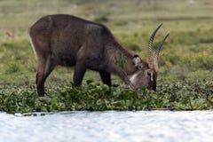 Αρσενικό Waterbuck Στοκ Εικόνα