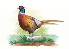 Αρσενικό watercolor φασιανών διανυσματική απεικόνιση
