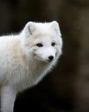 αρτική αλεπού Στοκ φωτογραφία με δικαίωμα ελεύθερης χρήσης