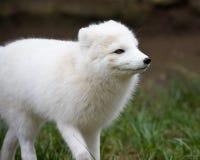 αρτική αλεπού Στοκ Εικόνες
