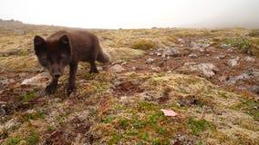 Αρτική αλεπού σε Hornstrandir Στοκ Εικόνες
