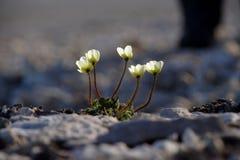 αρτική παπαρούνα Στοκ φωτογραφία με δικαίωμα ελεύθερης χρήσης