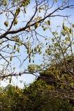 Αρτόκαρποι στην Αφρική Στοκ φωτογραφία με δικαίωμα ελεύθερης χρήσης