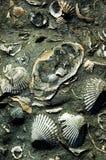 αρχαία κοχύλια Στοκ Εικόνες