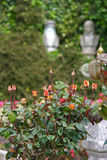 αρχαία τριαντάφυλλα θέσε&o Στοκ Εικόνα