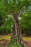 Αρχαία Khmer αρχιτεκτονική στη ζούγκλα Δέντρα στην καταστροφή TA Prohm, μέρος του Khmer ναού σύνθετο, Ασία η Καμπότζη συγκεντρώνε Στοκ Εικόνες
