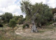 Αρχαίες ελιές, λάμα Δ ` Antico στοκ φωτογραφίες
