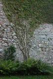 Αρχαίος τοίχος πετρών με τα αναρριχητικά φυτά Στοκ Εικόνες