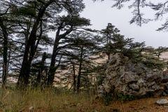 Αρχαίο άλσος κέδρων στο Λίβανο όπως σημειώνεται στη Βίβλο Στοκ Εικόνες