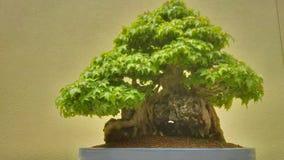 Αρχαίο δέντρο μπονσάι Στοκ Φωτογραφίες