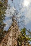 Αρχαίο δέντρο Ο ναός TA Prohm, Angkor Thom, Siem συγκεντρώνει, Καμπότζη Στοκ Εικόνες