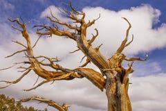 Αρχαίο δέντρο Bristlecone Στοκ εικόνες με δικαίωμα ελεύθερης χρήσης