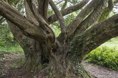 Αρχαίο δέντρο - Ιρλανδία Στοκ Εικόνες