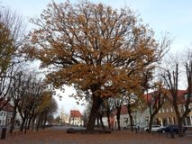 Αρχαίο δέντρο και χαλαρό φύλλο στοκ φωτογραφία