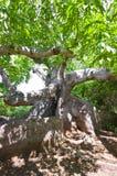 αρχαίο δέντρο καπόκ Στοκ φωτογραφία με δικαίωμα ελεύθερης χρήσης