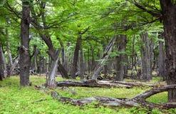 Αρχαίο παλιό ήρεμα σιωπηλό δάσος Στοκ Εικόνα