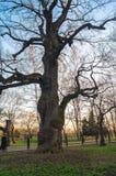 Αρχαίο δρύινος-δέντρο στο υπόβαθρο του ουρανού ηλιοβασιλέματος την πρώιμη άνοιξη Μουσείο κτημάτων Kolomenskoye, Μόσχα Στοκ Εικόνα