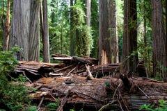 Αρχαίο Redwood στοκ φωτογραφία