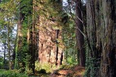 Αρχαίο Redwoods, Καλιφόρνια στοκ εικόνες