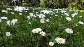 Αρχειοθετημένη με τα λουλούδια μαργαριτών Στοκ Φωτογραφία