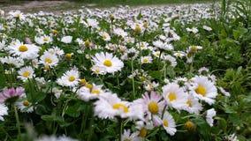 Αρχειοθετημένη με τα λουλούδια μαργαριτών Στοκ φωτογραφία με δικαίωμα ελεύθερης χρήσης