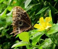 Αρχική μεξικάνικη συνεδρίαση πεταλούδων σε κίτρινο Στοκ εικόνες με δικαίωμα ελεύθερης χρήσης