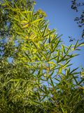 Αρχική σύσταση του φυσικού πράσινου υποβάθρου μπαμπού των κομψών λεπτών πράσινων φύλλων φυσικό φως του ήλιου στοκ φωτογραφία με δικαίωμα ελεύθερης χρήσης