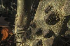 Αρχικό αφηρημένο σχέδιο που δημιουργείται από τη φύση από τα αγκάθια και του ακανθωτού Zanthoxylum κορμών δέντρων americanum στοκ φωτογραφία
