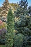 Αρχικό πράσινο υπόβαθρο μιας φυσικής μικτής σύστασης των evergreens: Buxus sempervirens, στοκ εικόνες
