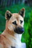 Αρχικό σκυλί της Ταϊλάνδης Στοκ εικόνα με δικαίωμα ελεύθερης χρήσης