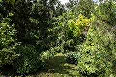 Αρχικό υπόβαθρο μιας φυσικής μικτής σύστασης του parviflora Glauca, ιοuνίπερος κοινό Horstmann, Picea glauca Γ πεύκων evergreens στοκ φωτογραφία