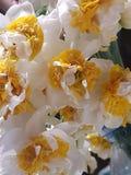 Αρωματικά κίτρινα και άσπρα λουλούδι & x28 nardo& x29  στον κήπο στοκ εικόνα