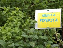 Αρωματικές εγκαταστάσεις με την ετικέτα με το κείμενο MENTA που στα ιταλικά μ Στοκ φωτογραφίες με δικαίωμα ελεύθερης χρήσης