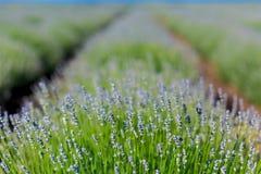 αρωματικό στενό βοτανικό lavender πεδίων φυτό επάνω Στοκ εικόνες με δικαίωμα ελεύθερης χρήσης