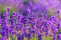 αρωματικό lavender τοπίων πεδίων βοτανικό φυτό Στοκ Φωτογραφία