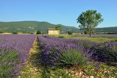 αρωματικό lavender τοπίων πεδίων βοτανικό φυτό Στοκ Φωτογραφίες