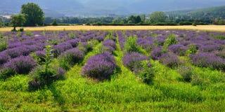 αρωματικό lavender τοπίων πεδίων βοτανικό φυτό Στοκ εικόνες με δικαίωμα ελεύθερης χρήσης