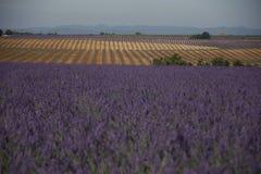 αρωματικό lavender τοπίων πεδίων βοτανικό φυτό Στοκ εικόνα με δικαίωμα ελεύθερης χρήσης